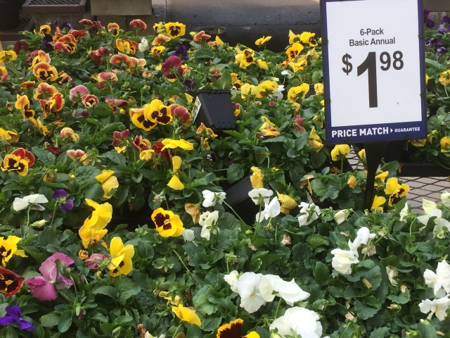 pansies at Lowe's