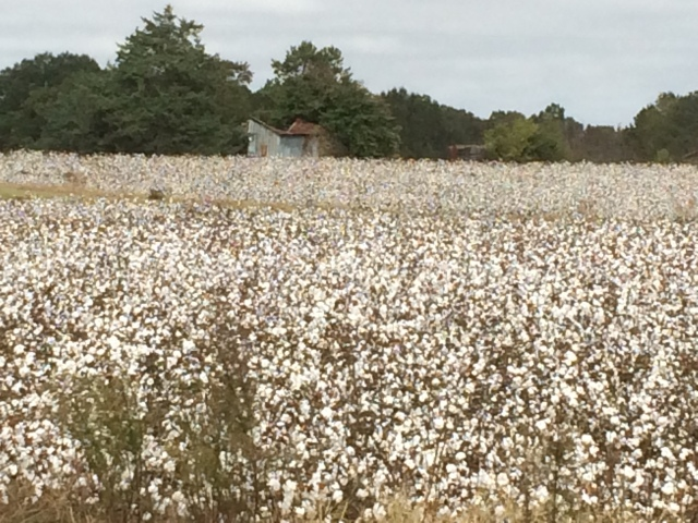 cotton fields.JPG