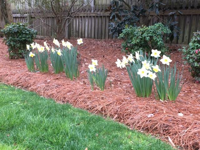 presnow daffodils