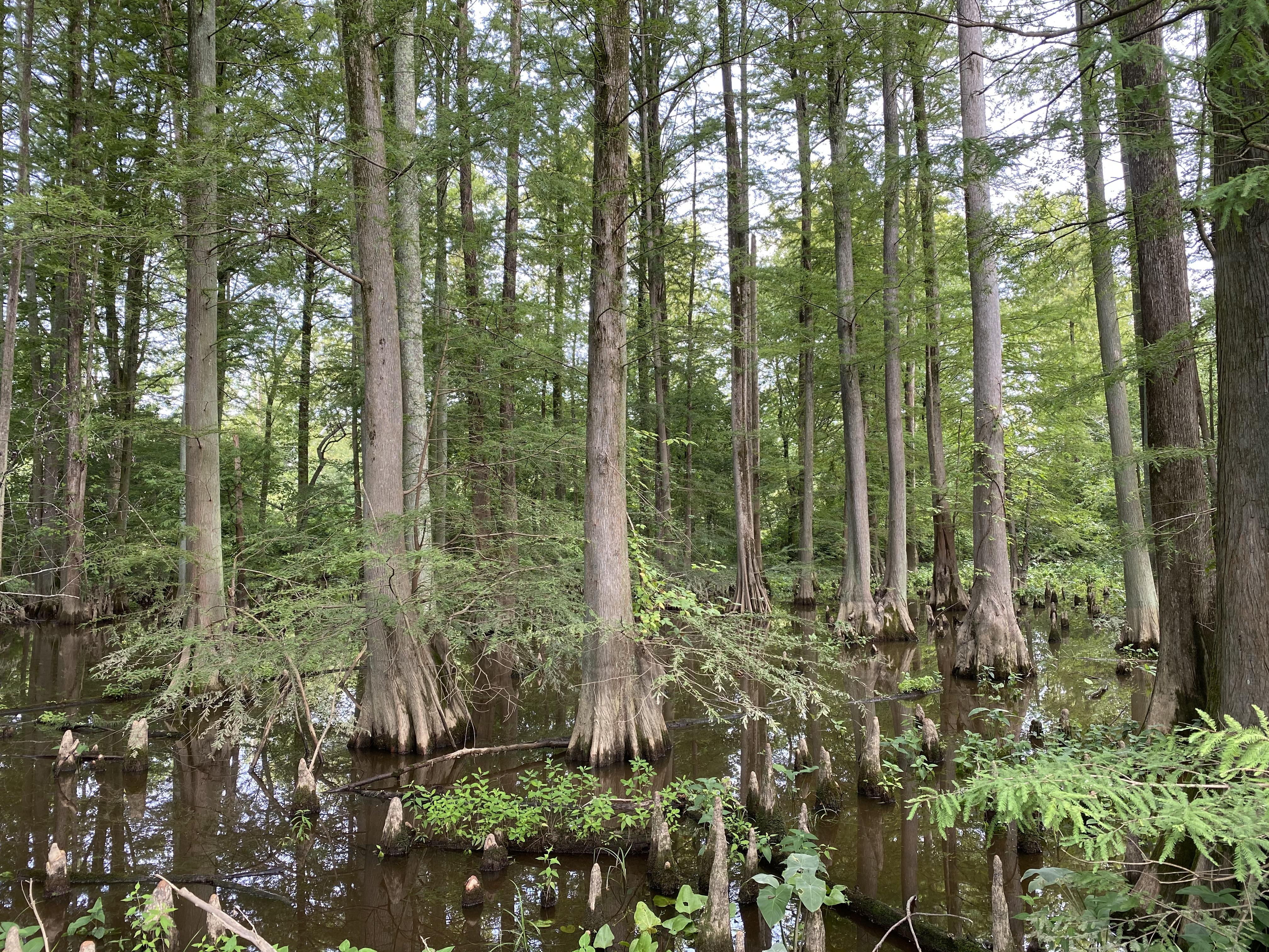 old cedars